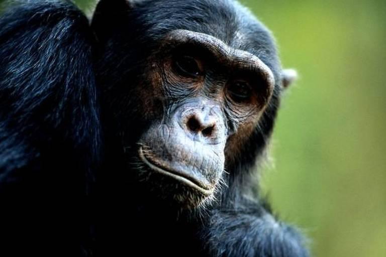 Huffman precisava provar que os chimpanzés sabiam o que estavam fazendo ao consumir remédios naturais