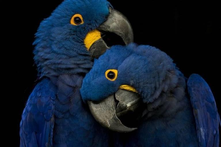 Algumas araras e papagaios usam argila para tratar dores de estômago; a argila se liga às toxinas e as remove do corpo