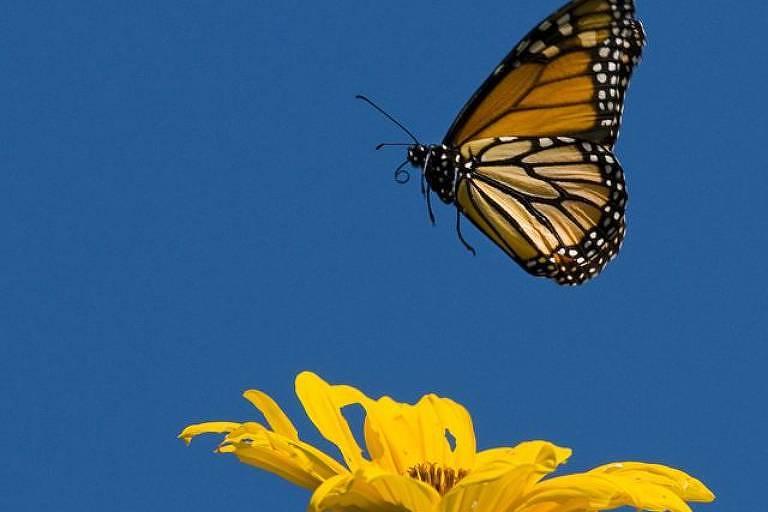 Quando está doente, a borboleta-monarca protege seus filhotes com compostos químicos