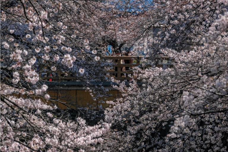 Floração antecipada das cerejeiras no Japão