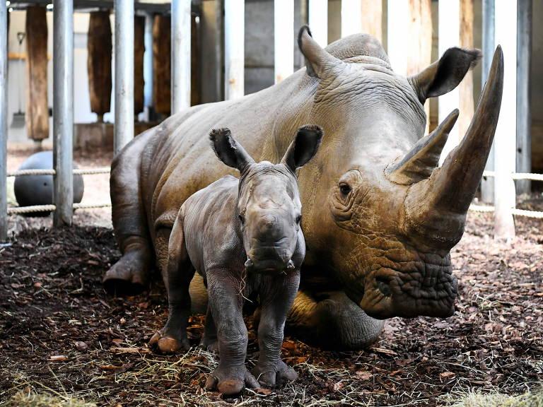 Rinoceronte recém-nascido em zoológico em Arnhem, na Holanda