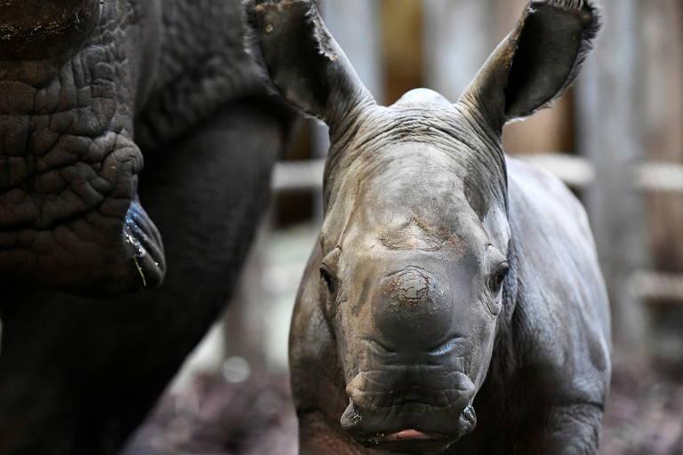 O Royal Burgers 'Zoo recebeu um rinoceronte branco recém-nascido em Arnhem, Holanda