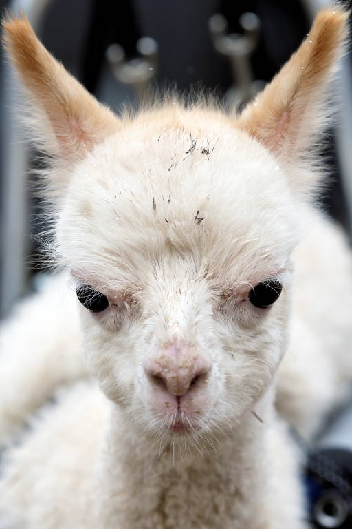 A filhote de alpaca com uma perna amputada, Marie Hope, é vista na fazenda em Freisen, Alemanha