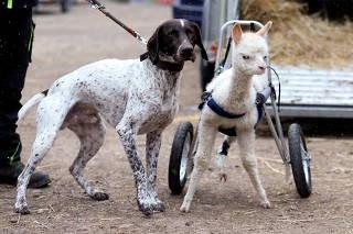 Rollator gives three-legged alpaca baby new life
