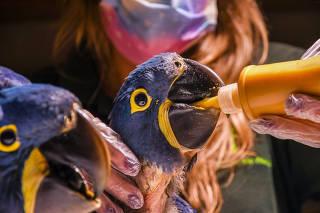 Novos filhotes de arara-azul-grande no zoológico de São Paulo
