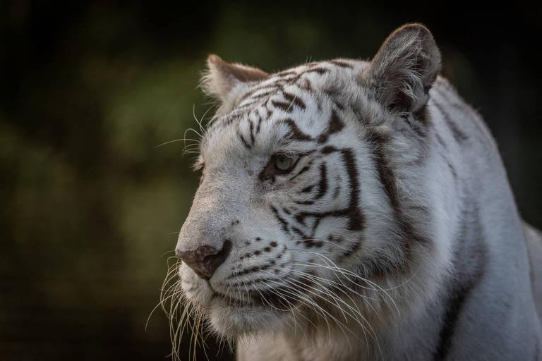 Dois tigres brancos são transferidos de ecoparque na Argentina para santuário nos EUA. Esta é Cleo, de 12 anos, que nasceu no Canadá. Transferência visa melhorar qualidade de vida dos animais