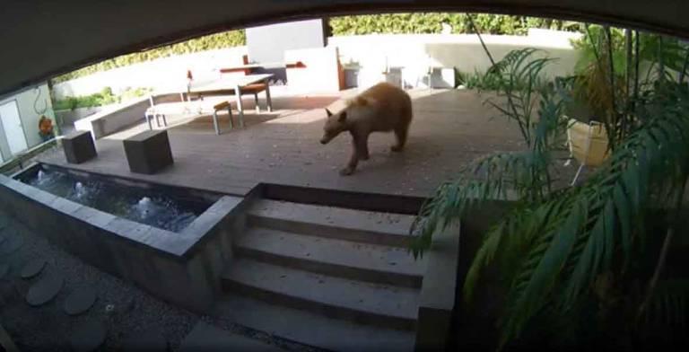 Urso entrou em casa em Pasadena, CA e foi perseguido por 2 terriers enfurecidos minúsculos