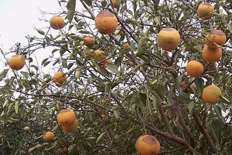 Imagem mostra laranjas deformadas em pé