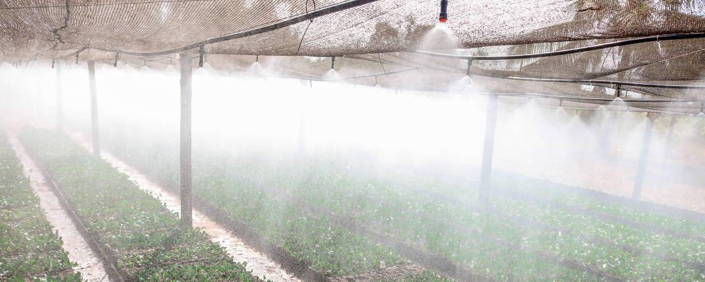 Viveiro em Tangará da Serra, MT, com mudas de café