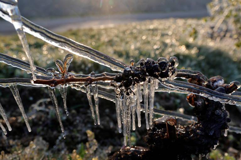 Geada intensa prejudica produção de vinho francês