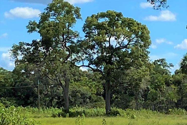 árvores em meio a gramado de vegetação do pantanal