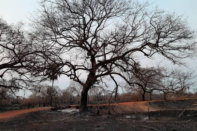 árvore em área queimada no Pantanal, em 2019