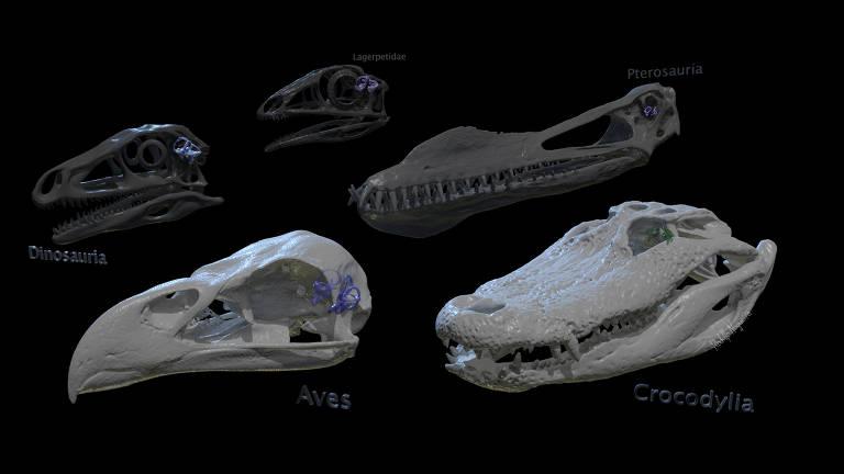 Estudo mostra como ouvido interno de dinossauros e aves evoluiu para que eles corressem e voassem