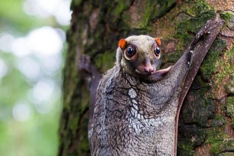 As habilidades de camuflagem dos colugos os ajudaram a passar despercebidos da atenção popular