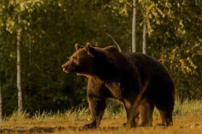 Arthur era o maior urso da Romênia e provavelmente de toda a União Europeia