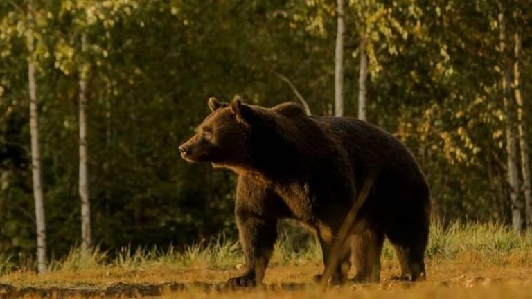 Príncipe é acusado de matar o 'maior urso vivo da Europa