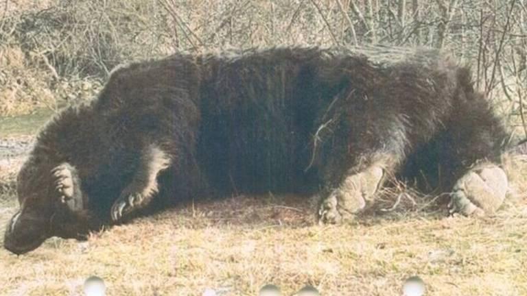 O urso macho foi morto em março, meses depois de um fazendeiro local reclamar de fêmeas