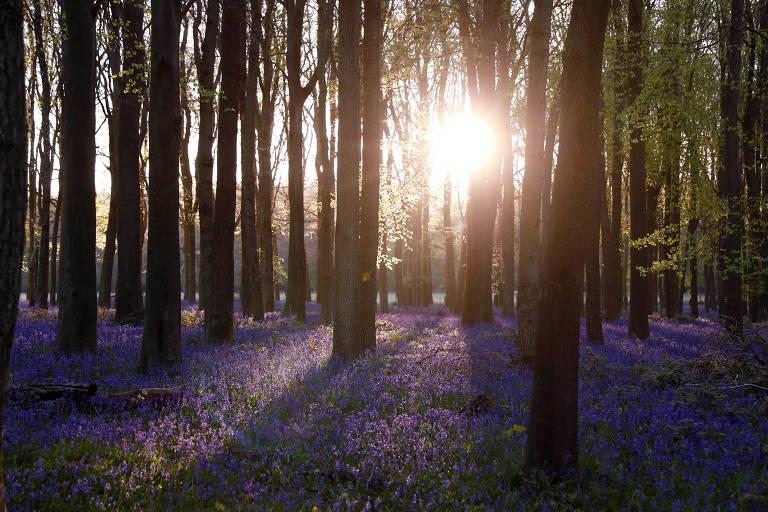 Sol é visto entre árvores de bosque, com chão coberto de flores violeta