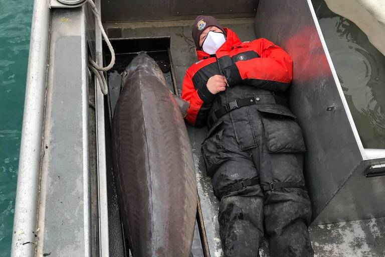 Peixe gigante que pode ter mais de 100 anos foi pescado no Rio Detroit