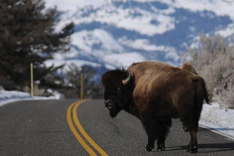 Superpopulação de bisões vem causando danos