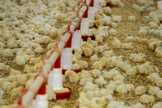 Foz - Produtor de frango - alta do preço da carne