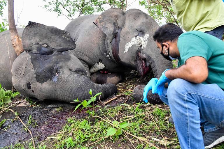 Veterinário examina corpo de elefante morto na selva indiana; autoridades apura se raio foi responsável pela morte de 18 animais