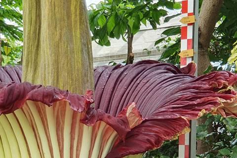 Régua acompanha crescimento de Inflorescência de planta-cadáver (Amorphophallus titanum), com 2,19 metros de altura e 26,6 kg de peso, no Jardim Botânico de Meise, nos arredores de Bruxelas; espécie rara natural da ilha de Sumatra (Indonésia), a planta floresce mais ou menos a cada três anos, por apenas 48 horas, e é conhecida como a