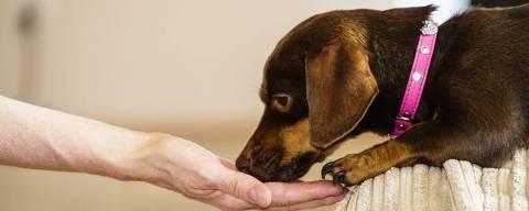 Cachorro come na mão do tutor