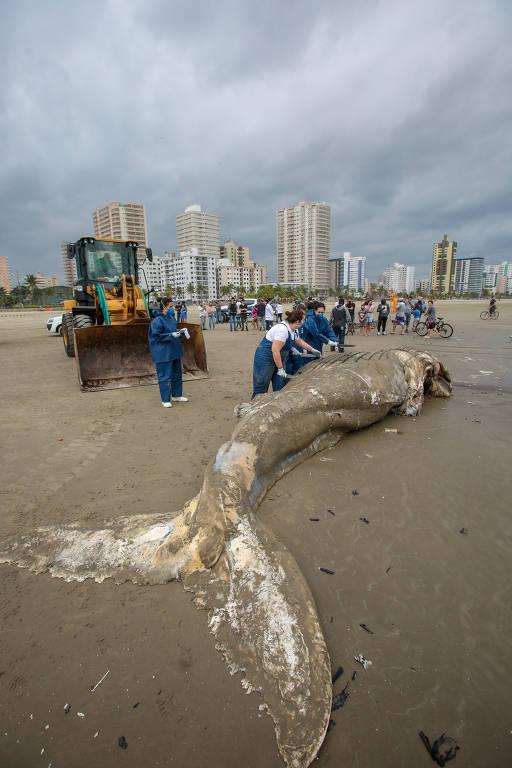 Baleia jubarte é encontrada morta no litoral paulista