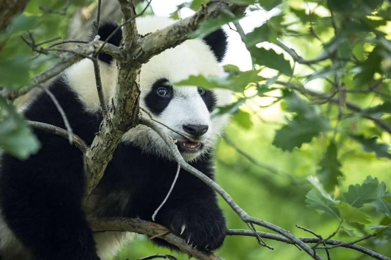 O filhote de panda gigante, Xiao Qi Ji nascido nos EUA