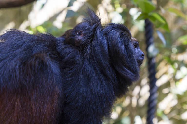 O mico-leão-preto é uma espécie ameaçada; no Zoológico SP, há seis indivíduos em exposição