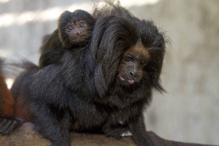 Votação pública decide nomes dos filhotes de mico-leão-preto, do Zoológico de SP