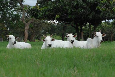 UBERABA, MG,  Gado descansa na fazenda Ipê Ouro, em Uberaba, que adota ações de sustentabilidade e faz integração entre floresta e pecuária. (Foto: Divulgação/Fazenda Ipê Ouro)