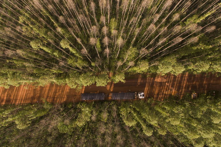 Colheita de eucaliptos na fazenda São Miguel, município de Rondonópolis (MT)