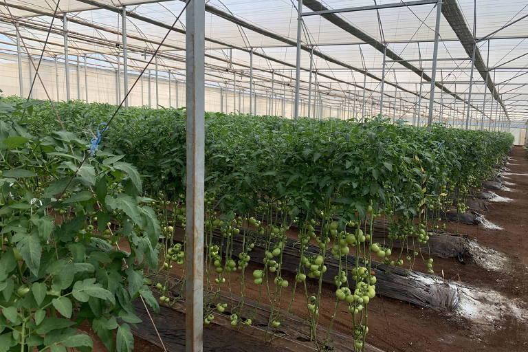 Cultivo de tomate orgânico feito com controle biológico na fazenda Rio Bonito, região de Botucatu (SP)