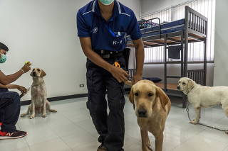 Bobby, Bravo and Angel, left to right, with their handlers at Chulalongkorn University in Bangkok on May 14, 2021. (Adam Dean/The New York Times)