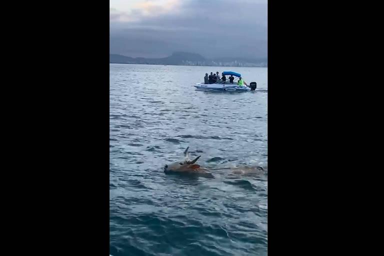 Boi é flagrado nadando em praia do litoral catarinense; suspeita é de maus-tratos