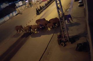 A herd of elephants walk along a road in Eshan, Yunan, China