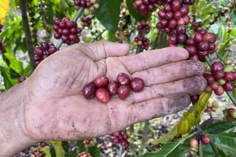 RONDONIA, Grãos de café robusta, cultivados por Leandro Dias, em Rondônia. (Foto:Divulgação )