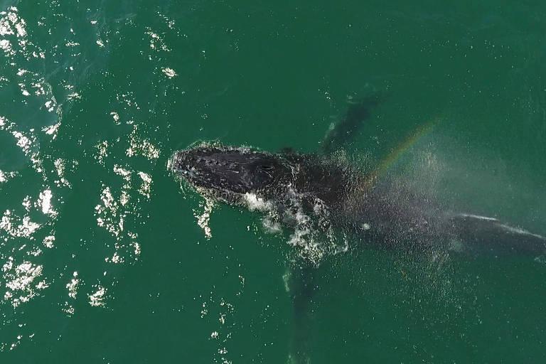 Avistamento recorde de baleias no litoral norte de SP intriga especialistas