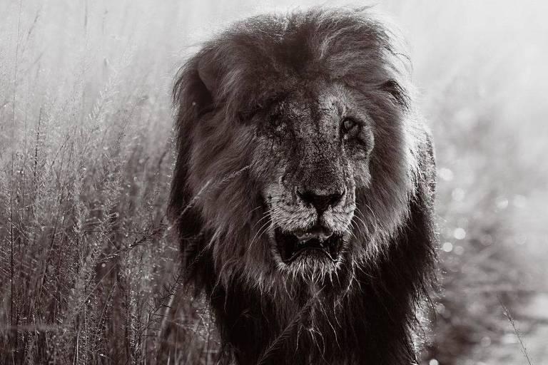 Foto com filtro sépia de leão com uma cicatriz no rosto