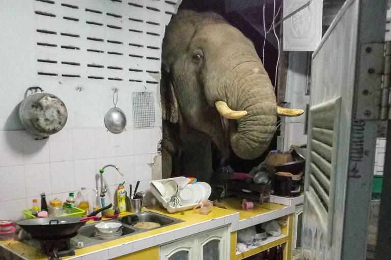 Em busca de comida, elefante quebra parede da cozinha na Tailândia