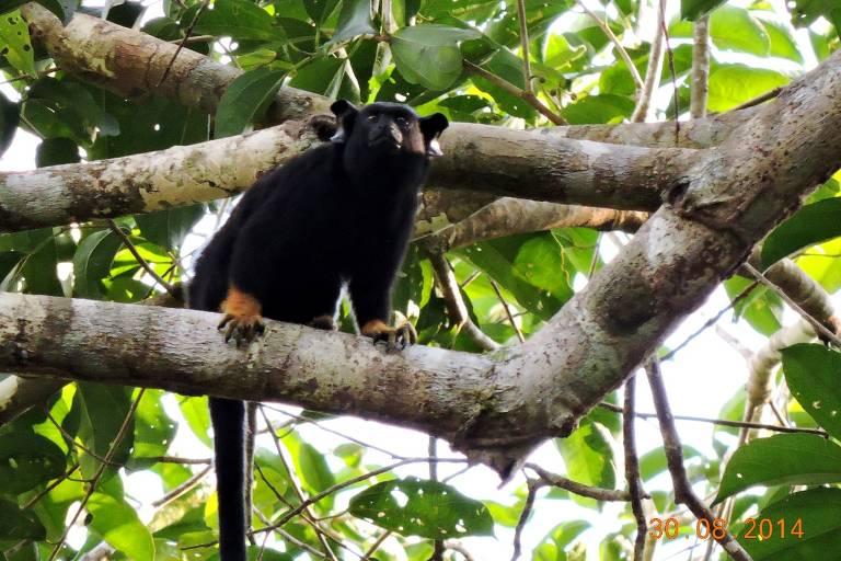 Sauim-de-mãos-douradas, espécie de primata da Amazônia, em árvore