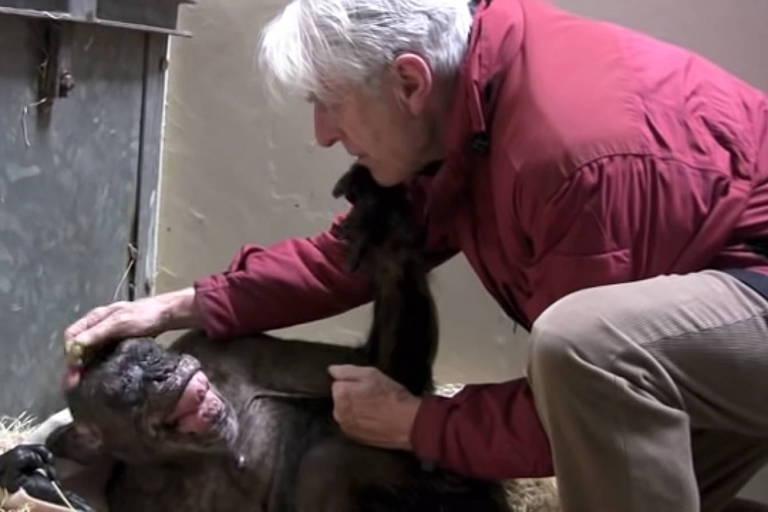 Homem acaricia cabeça de chimpanzé fêmea deitada no chão