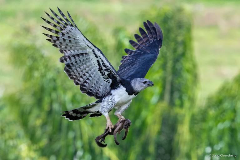 Desmatamento na Amazônia leva à morte filhotes de harpia, maior ave do bioma