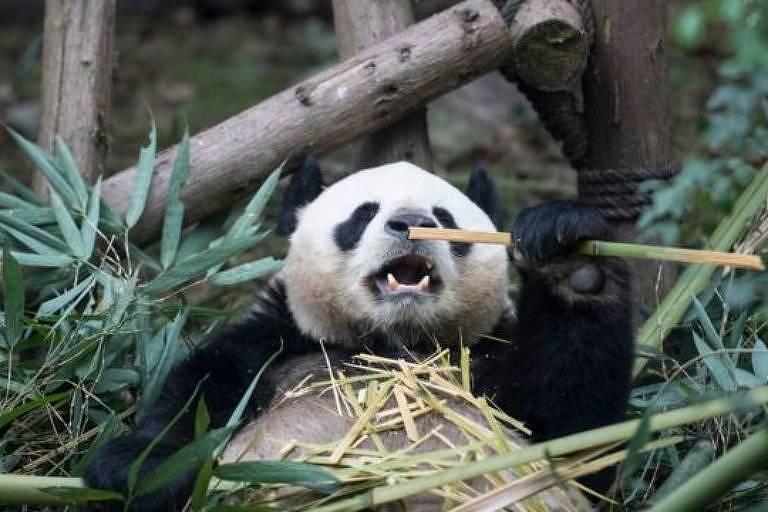 Imagem mostra um panda gigante segurando um galho de bambu em meio a vegetação