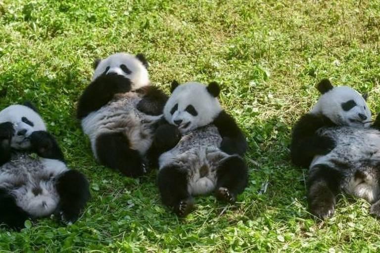Imagem mostra quatro pandas gigantes deitados em um gramado