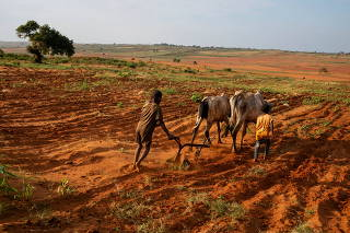 Children attempt to plough a plantation using cattle in Grand Sud of Betsimeda, Maroalomainty commune, Ambovombe