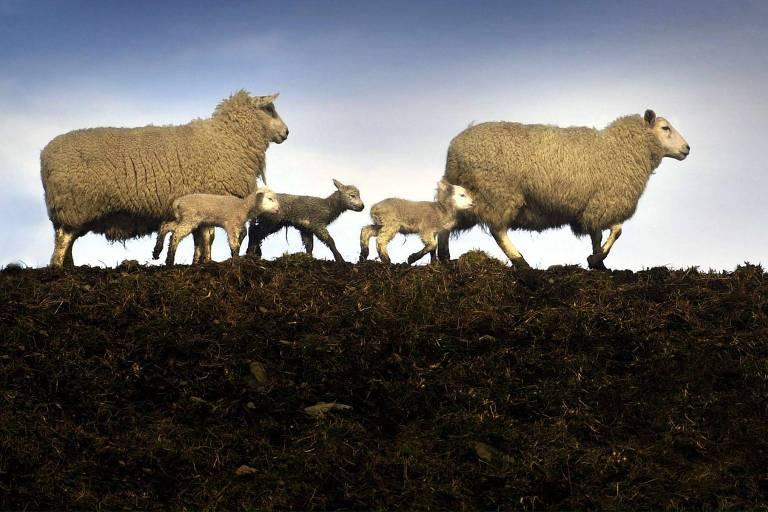 Dois carneiros (ou ovelhas) e três filhotes caminham de perfil em foto em que o solo aparece na metade inferior da foto e, na superior, os animais e o céu