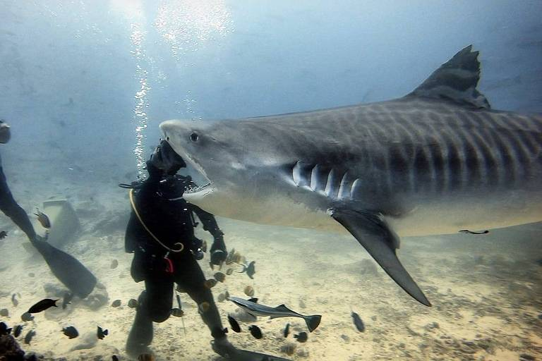 Foto parece mostrar tubarão engolindo mergulhador